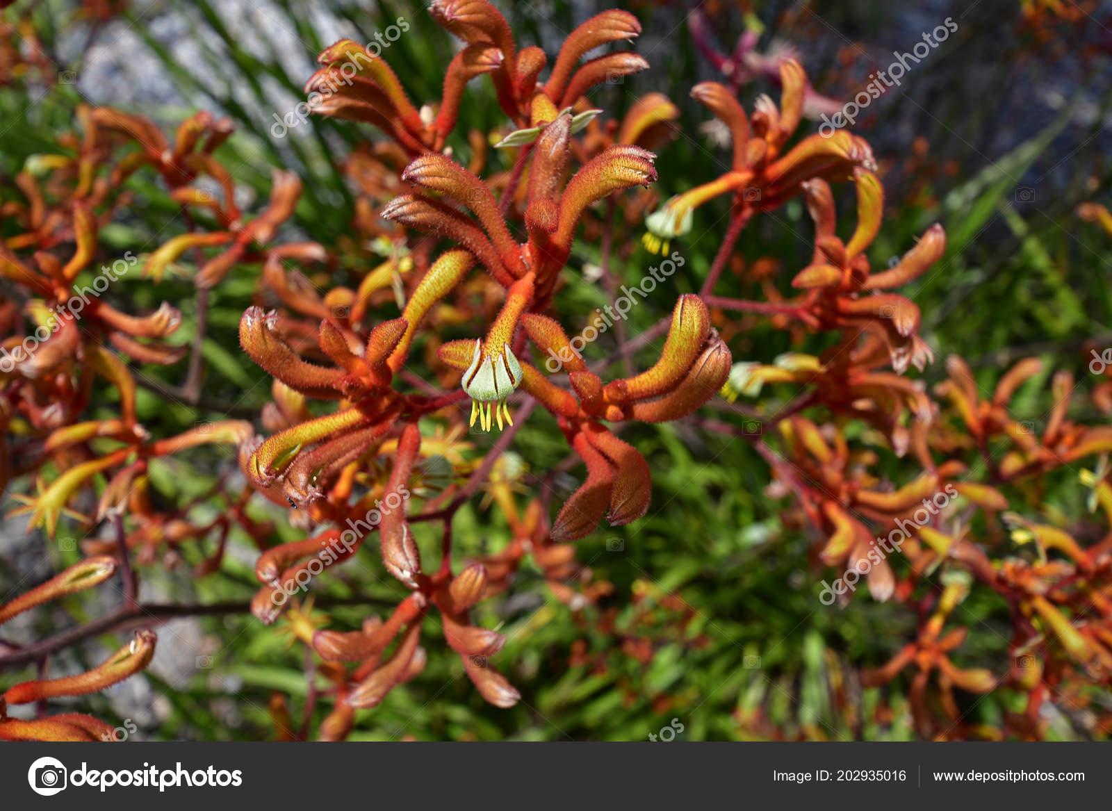Fleur Patte Kangourou Perth Australie Photographie Fotofritz