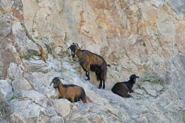 Greece, three goats rest on rock face