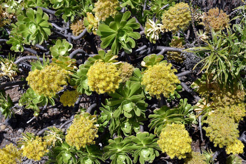 Spain, Canary Islands, Tenerife, tree aenium aka Irish Rose