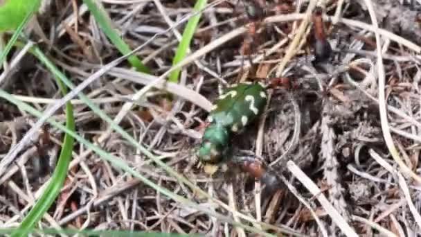 červení mravenci útočí zelený tygr brouka