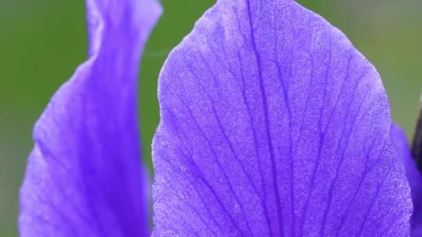 Iris sibirica,  Siberian iris, Siberian flag,  genus Iris,  rhizomatous,  herbaceous, perennial,  Europe, violet-blue,