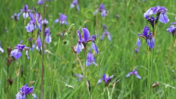 Iris sibirica,  Siberian iris, Siberian flag,  genus Iris,  rhizomatous,  herbaceous, perennial,