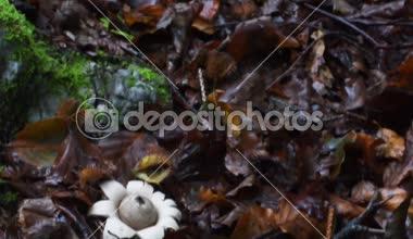 Geastrum Saccatum Underwood Madeira Cogumelo Cernica
