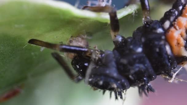 larva di coccinella, Coccinella septempunctata, extreme close-up,