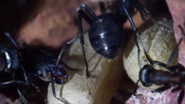 Hangyák és chrysalides a földalatti mesterséges hangyaboly, Formica rufa