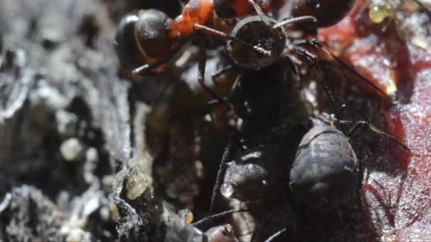 symbiosis between ants and aphids in Gran Paradiso National Park