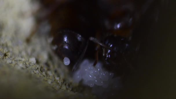 Ant queen lays egg in the anthill