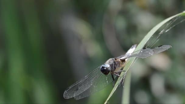 Libellula depressa, szitakötő, Odonata, Anisoptera,