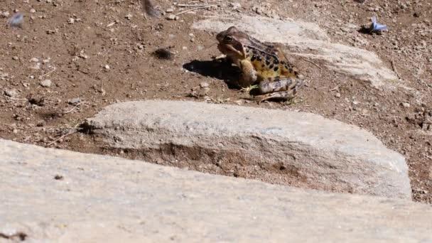 Frosch fängt Schmetterling, rana temporaria springen und fangen Schmetterling