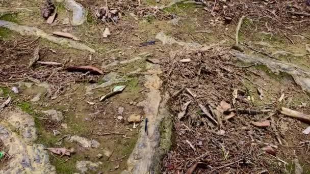 A Springwater táncos (Argia plana), Blue Damselfly Álló a gyökerek kilóg a fák a földön