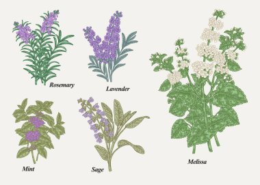 Hand drawn rosemary, pepper mint, melissa, sage, lavender and sage garden herbs with leaves and flowers. Medical plants collection. Hand drawn colored sketches. Vector illustration.