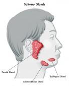 Fotografia salivary glands medical poster