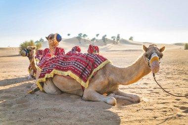 Camels in the desert sitting on the sand