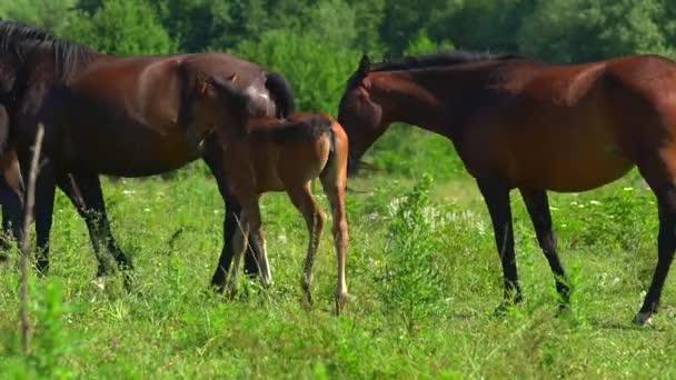 Koně se budou potulovat po zelené louce a jíst trávu. Dvě hnědá hříbě neopouštějí své matky. Za těmi zvířaty je les.