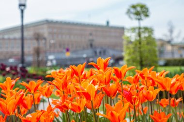 Beautiful orange Tulips in spring May day in Stockholm with the royal swedish palace in the background