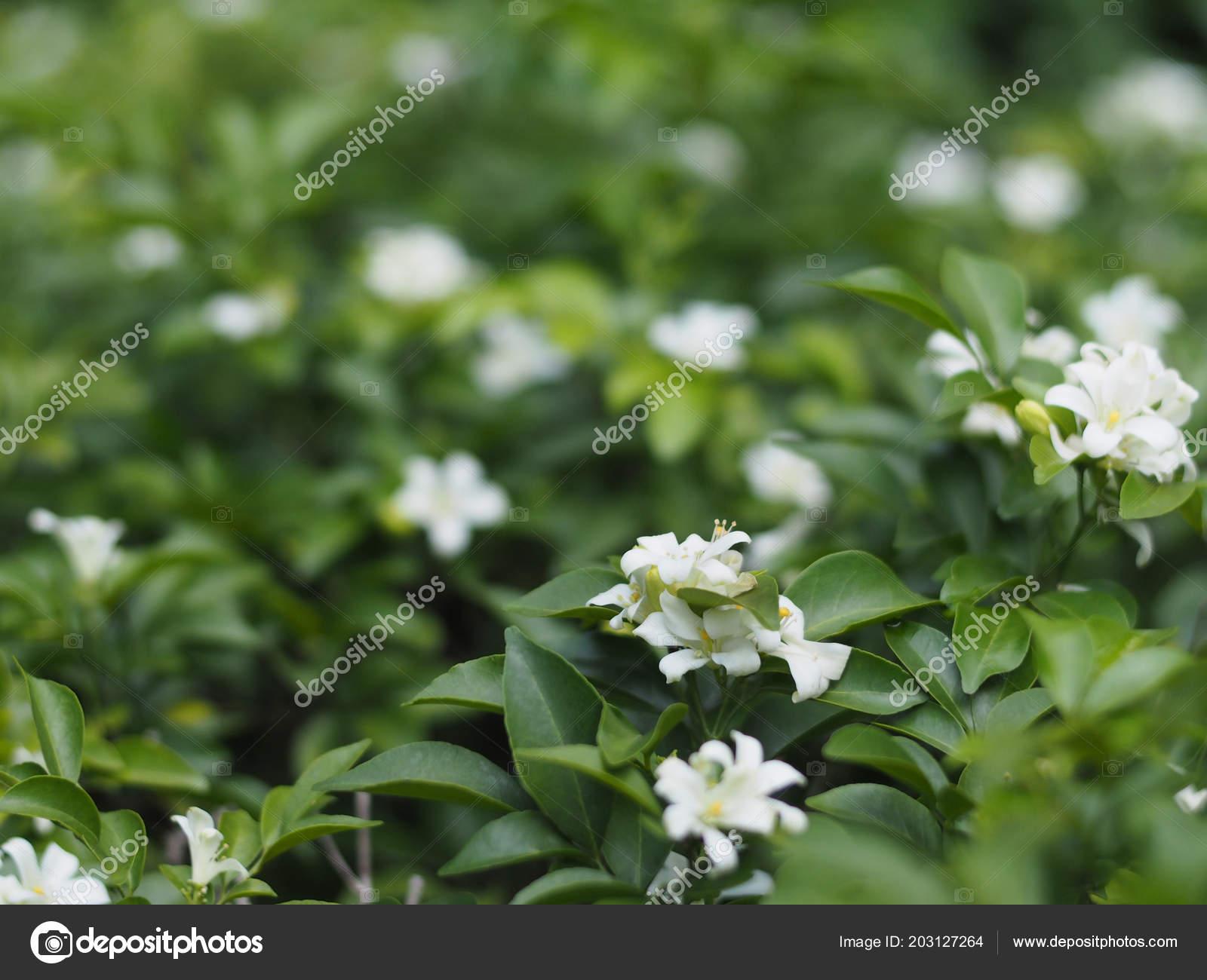 Small White Flower Orange Jasmine Plant Satin Wood Green Leaves