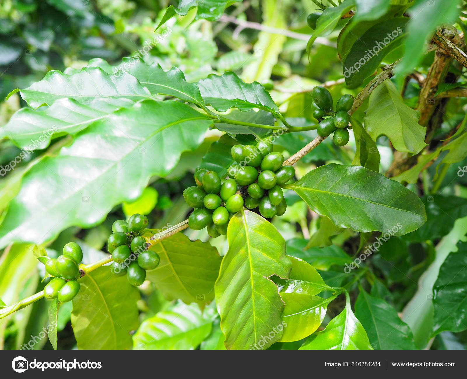 Bunch Of Green Coffee Beans And Leaves Stock Photo C P Kanchana