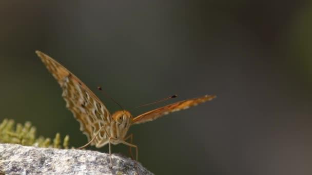 Motýl odpočívající na skále a foukající ve větru.