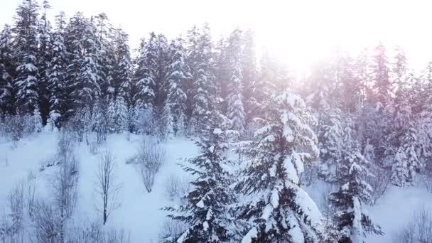 Jehličnatého lesa při západu slunce. Letecký pohled