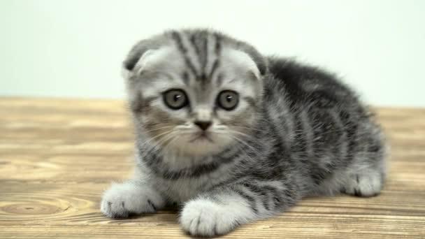 Scottish Fold Kätzchen mit großen Augen sitzt. Weißem Hintergrund