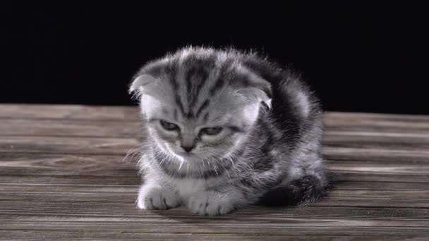 Small kitten scottish fold is sleeping in room. Black background. Slow motion