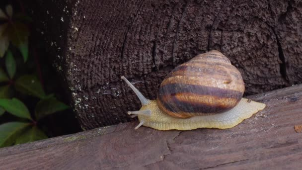 Garden snail crawling on a wooden surface