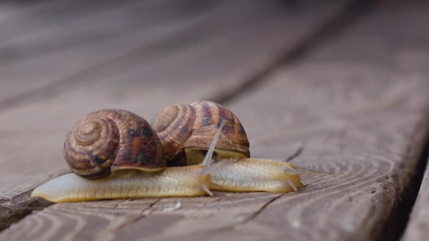 Two snails in love. Close up