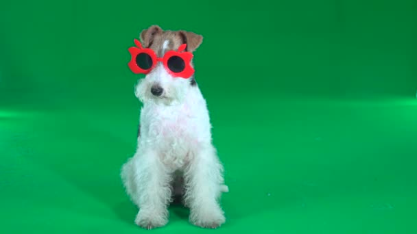 Fox Terrier sitzt in roter Brille. Green Screen