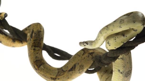 Columbijský Hroznýš nebo Boa constrictor imperátor na dřevěné Liane izolované v bílém