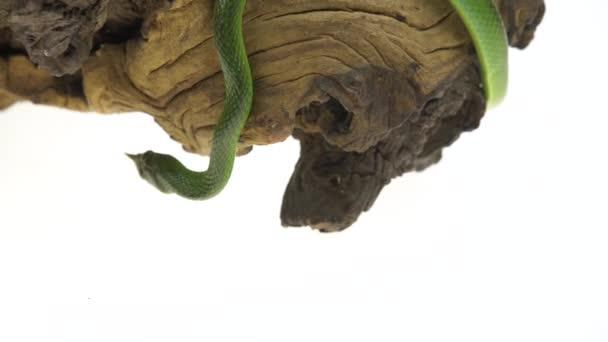 Nosorožci, nebo Rhynchopjeho Boulengeri. Také známý jako nosorožec, Rhino krysa, Vietnamský Dlouhčenej had nebo zelený jednorožce stočený na dřevěném špicu v bílém pozadí