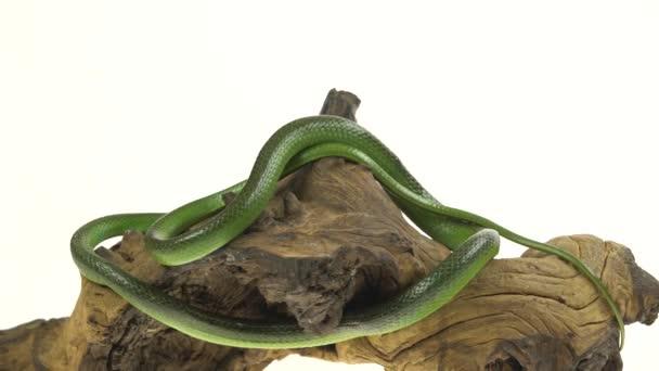 Rhinoceros Ratsnake vagy Rhynchophis boulengeri. Néven is ismert orrszarvú kígyó, Rhino patkány kígyó, vietnámi Longnose Snake, vagy zöld Unicorn Tekercselt fából készült gubanc fehér háttérben