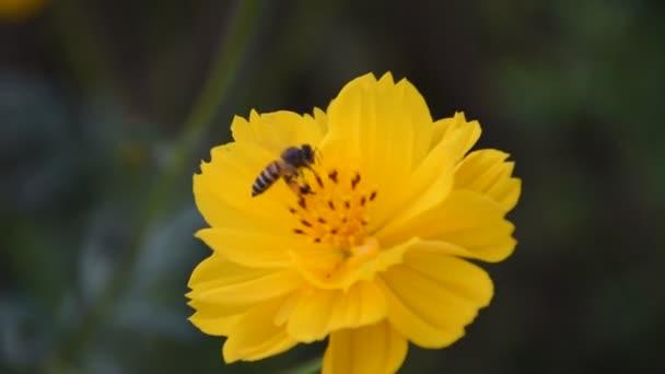 Kozmosz virágok természetes homályos háttér