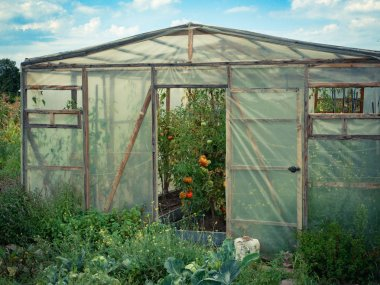 greenhouse at farm with organic vegetables greens convenience food outdoor