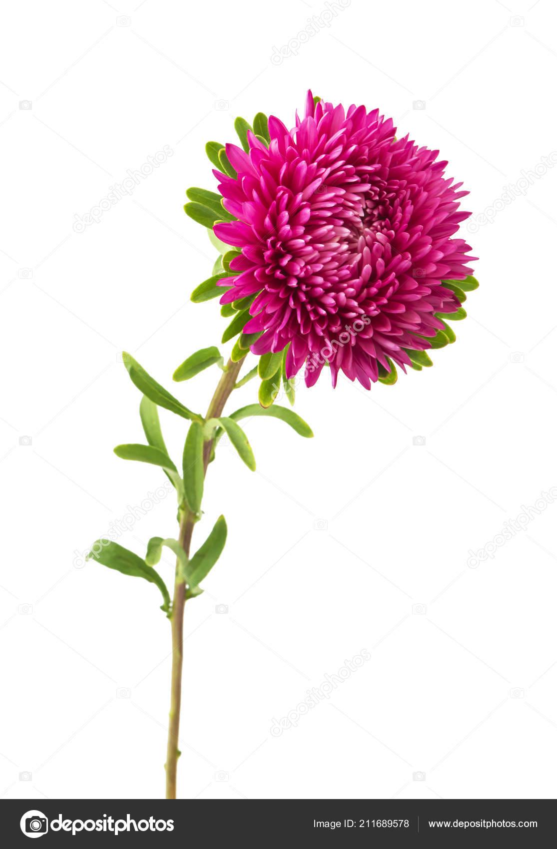 Pink Aster Flower White Background Stock Photo Ulkan 211689578