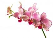 Fotografie krásné růžové phalaenopsis orchideje květiny, izolované na bílém pozadí