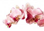 krásné růžové phalaenopsis orchideje květiny, izolované na bílém pozadí