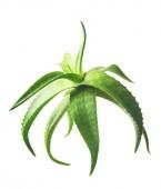 Zöld levelei Aloe növény közelről fehér alapon