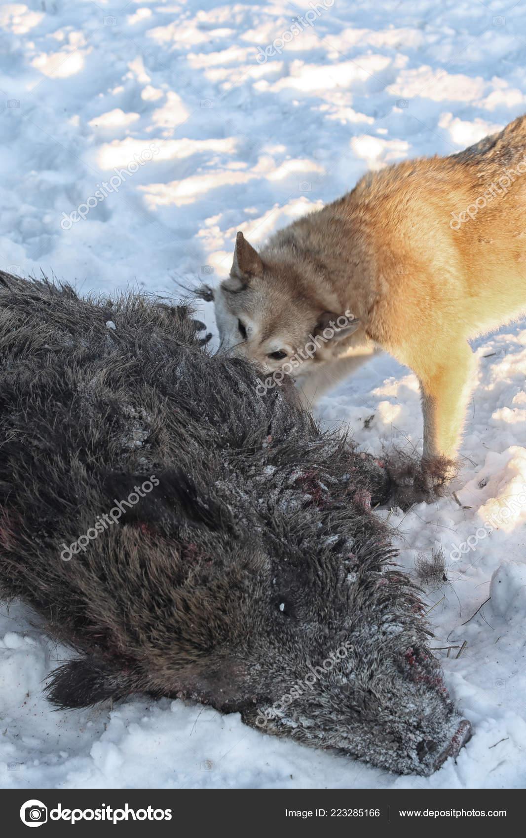 Hunting Wild Boar Dogs Husky — Stock Photo © salman2 #223285166
