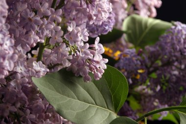 beautiful large bouquet of springtime lilacs in the studio shooting