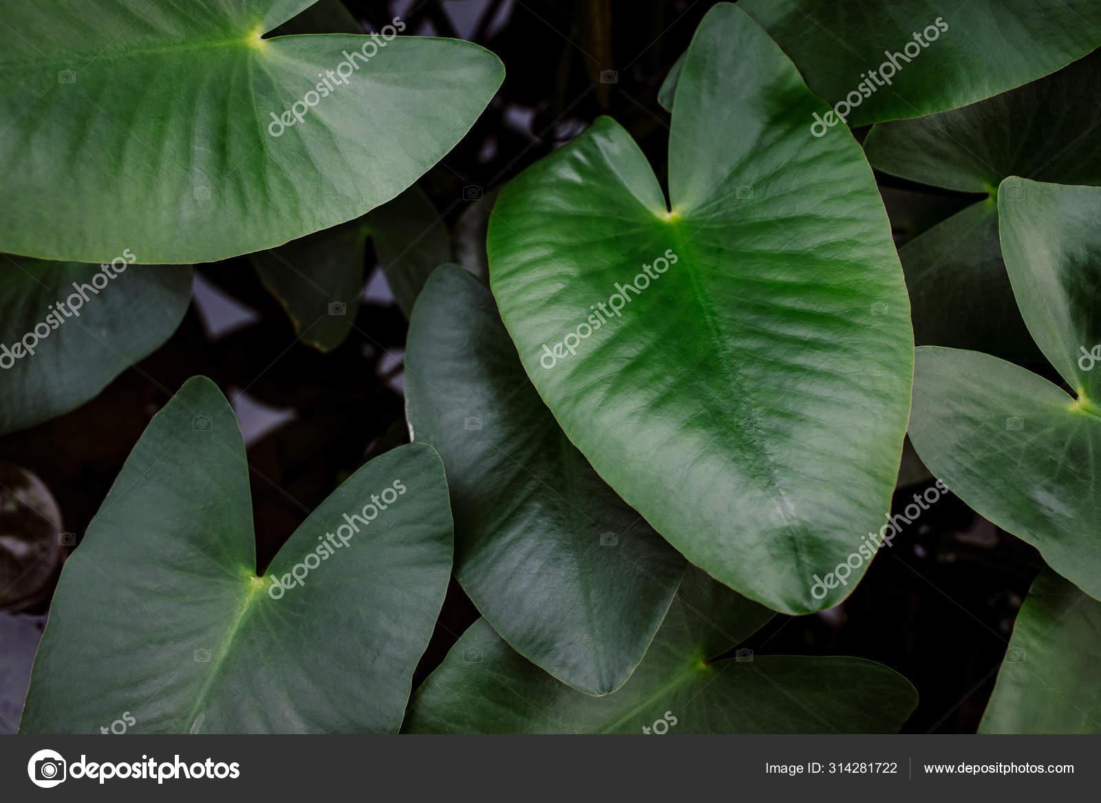 Dark Green Giant Elephant Ear Plant Araceae Caladium Stock Photo