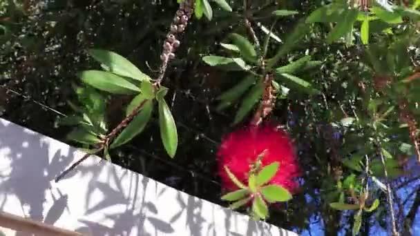 Hibiszkusz rózsaszín virág Cape Town Dél-Afrikában.