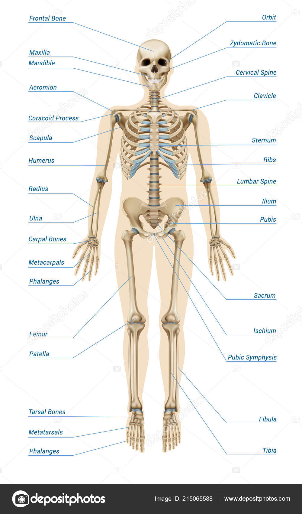 Realistic Human Skeletal System Infographics Stock Vector