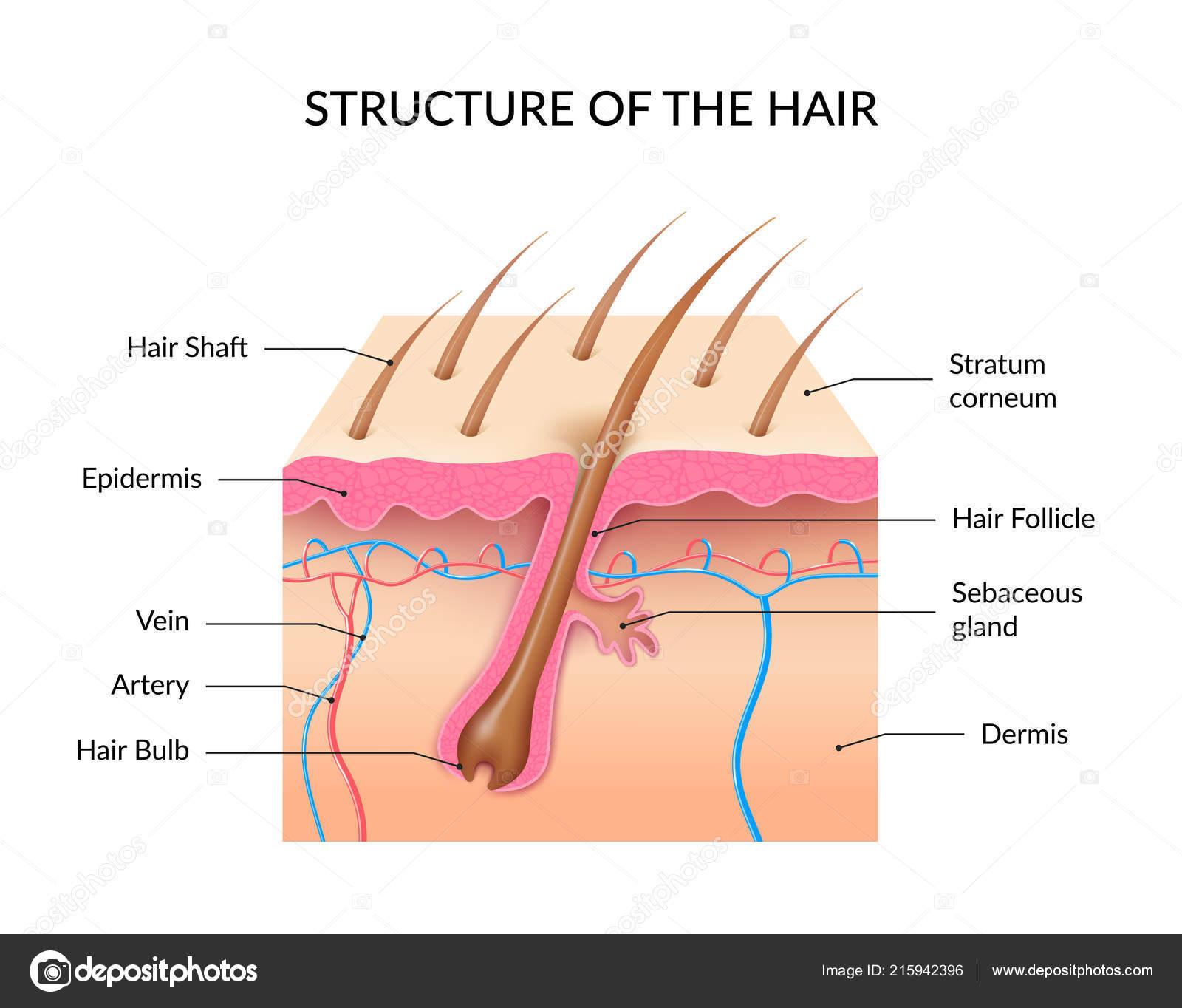 Realistic Human Hair Anatomy Infographics — Stock Vector ...