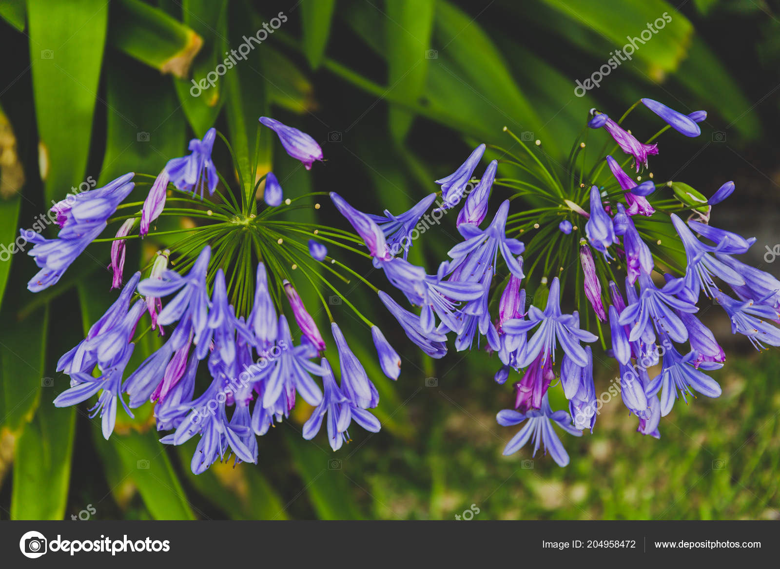 Close Beautiful Subtropical Agapanthus Lily Nile Plant Shot