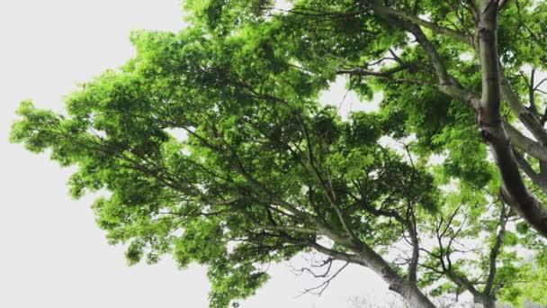 Japanischer Ahorn mit leuchtend grünem üppigem Laub