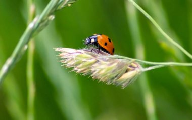 Cute little ladybug with red wings and black dotted hunting for plant louses as biological pest control and natural insecticide for organic farming with natural enemies reduces agriculture pesticides