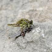 Fotografie die Geburt einer grünen Libelle aus der Nahaufnahme der Larven