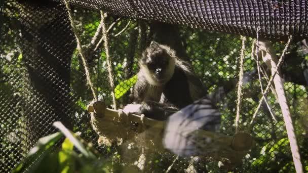 Spider Monkey Resting In Zoo Habitat