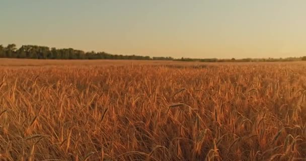 Glow of golden setting sun on vast wheat field in scenic Ukraine. Close up: golden sun setting behind yellow wheat field. Slow motion