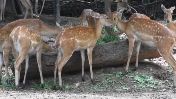 Axisové nebo strakaté jeleny v Dusit Zoo nebo Khao Din Wana parku v Bangkoku, Thajsko thajských lidí a cizinec cestující pěší návštěvu a cestování, hledá